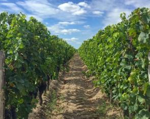 El primer viñedo inscrito por la UNESCO